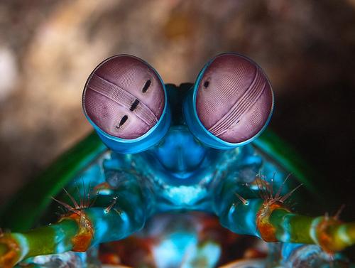 Manti Shrimp eyes